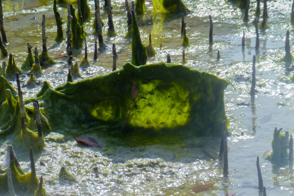 mangroventour_011_20130307-p1020165