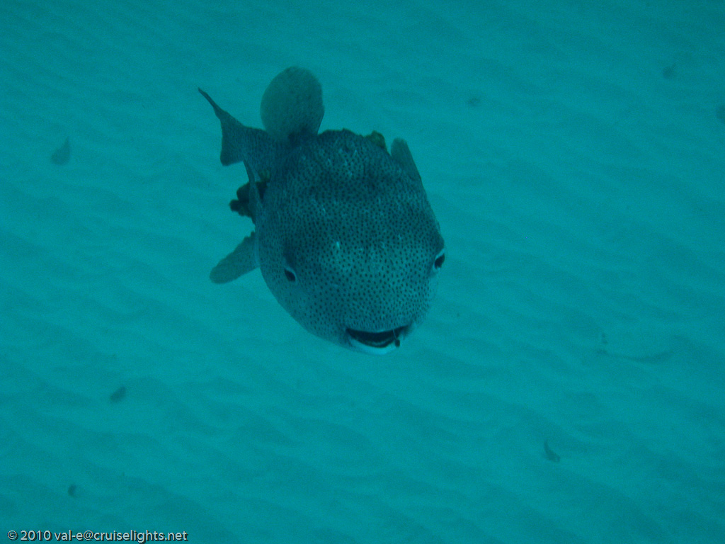 kugelfisch advancing