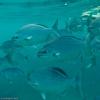 gruselfishis